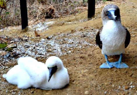 Pájaro Patiazul de las islas de Ecuador